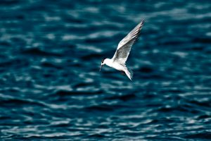 Arctic Tern over water